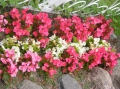 Blumenbeet in den Landesfarben Lettlands.